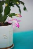 Decembrist的仙人掌,第一春天绽放 在轻的背景的桃红色开花的轻的罐 图库摄影