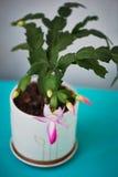 Decembrist的仙人掌,第一春天绽放 在轻的背景的桃红色开花的轻的罐 库存图片