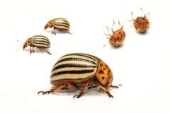 Decemlineata de Leptinotarsa de scarabée de pomme de terre du Colorado, également connu sous le nom de doryphore, l'homme armé d' Images stock