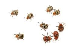 Decemlineata leptinotarsa жука картошки Колорадо Стоковое Изображение RF