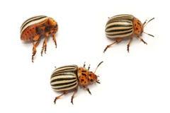 Decemlineata leptinotarsa жука картошки Колорадо Стоковое Фото