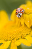 Decempunctata Adalia, 10-запятнанный ladybird Стоковое Изображение RF