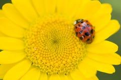 Decempunctata Adalia, 10-запятнанный ladybird Стоковая Фотография RF