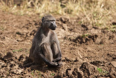 Decent baboon. Chacma baboon sitting arms around legs in savannah Royalty Free Stock Photography