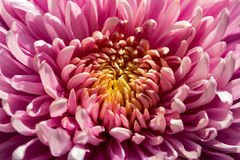Decent. Portrait of dahlia flower in the summer garden Royalty Free Stock Photography