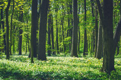Decidious forest. Nature in spring time Stock Photo