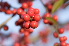 Decidious Holly Berries. A closeup of fall red berries against a blue sky. Selective focus for blured background Royalty Free Stock Photos