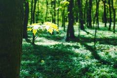 Decidious lasowa natura w wiosna czasie Obrazy Stock