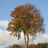 Decidious tree in autumn, Germany Stock Photography