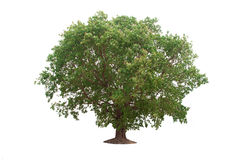 Deciduous banyan tree. On a white background stock image