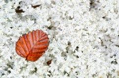 Deciduous beech leaf on Tasmanian rainforest moss Stock Photo