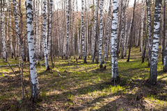 Deciduous birch forest with evening sunlight Royalty Free Stock Photography
