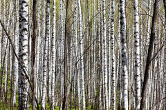 Deciduous birch forest with morning sunlight Royalty Free Stock Images