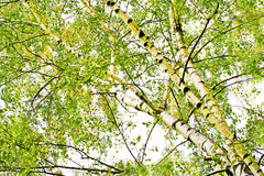 Deciduous birch trees. Deciduous birch trees in the summer period royalty free stock photography