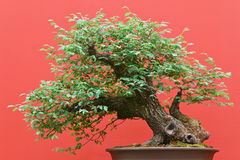 Deciduous bonsai ree Stock Photography