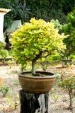 Deciduous bonsai tree Royalty Free Stock Images