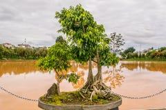 Deciduous bonsai tree near a pond Royalty Free Stock Image