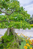 Deciduous bonsai tree in a park in flowerbed Stock Photo