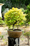 Deciduous bonsaitree royaltyfria bilder