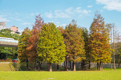 Deciduous Cypress with autumn colors Royalty Free Stock Photography