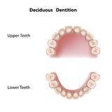 Deciduous dentition. Or baby teeth, eps8 vector illustration