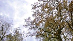 Deciduous drzew widok spod spodu overcast niebo Latarniowy oświetlenie zbiory wideo