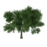 Deciduous drzewo Fotografia Royalty Free