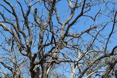 Deciduous drzewo Zdjęcie Stock