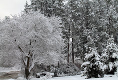 Deciduous and Evergreen Trees Covered in Snow Royalty Free Stock Photos