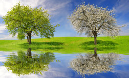 Deciduous and flowering tree. On meadow. Spring landscape Stock Images