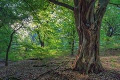 Deciduous_forest fotografia de stock royalty free