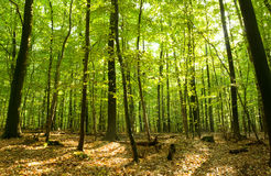 Deciduous forest. Beautiful deciduous forest in late summer royalty free stock photography