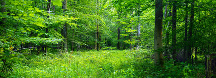 Deciduous forest Royalty Free Stock Image