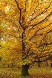 Deciduous forest in the autumn Stock Photography