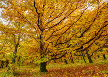 Deciduous forest in the autumn Stock Images