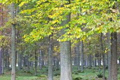 Deciduous forest with autumn colors Stock Photo