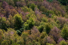 Deciduous forest in autumn colors. Seasonal change temperate for. A colorful deciduous forest in autumn with multicolored pink orange and green foliage on the Stock Photos