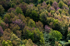 Deciduous forest in autumn colors. Seasonal change temperate for. A colorful deciduous forest in autumn with multicolored pink orange and green foliage on the Royalty Free Stock Photos