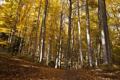 Deciduous forest. In autumn season royalty free stock photography