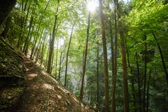 Deciduous forest with big trees Stock Photos