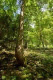 Deciduous forest with big trees Royalty Free Stock Photography