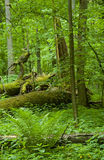 Deciduous forest with bunch of fern. Summer deciduous forest with bunch of fern in foreground and lying old oak in background Royalty Free Stock Images