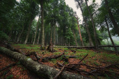 Deciduous forest with fallen tree Royalty Free Stock Photo