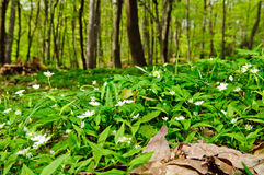 Deciduous forest flor. With blooming European false stitchwort (Pseudostellaria europaea Stock Images