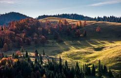 Deciduous forest on hillside in autumn sunrise. Deciduous forest on grassy hillside above spruce trees in autumn sunrise. beautiful nature scenery in mountains Stock Image