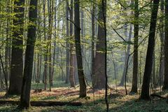 Free Deciduous Forest In Springtime Sunrise Royalty Free Stock Image - 216392926