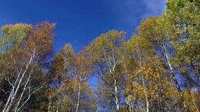 Deciduous forest in late autumn. The wind shakes the trees on blue sky background stock video