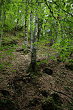 Deciduous forest. On the mountain with the young leaves in the spring Stock Photos