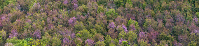 Deciduous forest, Panorama of colorful trees. A colorful deciduous forest in autumn with multicolored pink orange and green foliage on the cherry blossom trees Stock Images