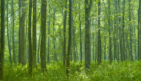 Deciduous forest rain after Royalty Free Stock Image